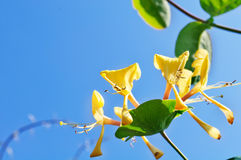 Honeysuckle on Sky Background Stock Photo