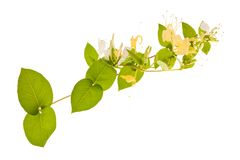 Honeysuckle. Sprig with white flowers and green leaves isolated on white background stock photos