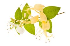 Honeysuckle. Sprig with white flowers and green leaves isolated on white background royalty free stock photo