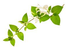 Honeysuckle. Sprig with white flowers and green leaves isolated on white background royalty free stock images