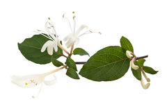 Honeysuckle Stock Image