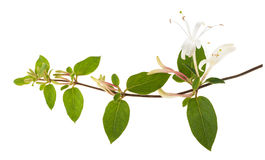 Honeysuckle. Sprig with white flowers and green leaves isolated on white background stock photography