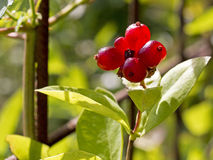 Honeysuckle - Tantalizing fruits Stock Images