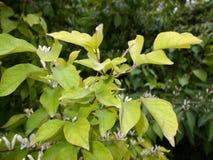 Honeysuckle tree. In spring park stock photo