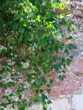 Honeysuckle Vine na flor foto de stock royalty free