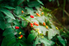Honeysuckle, Wolfberry, Lonicera xylosteum Stock Photography