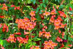 Honeysuckles. Trumpet shaped honeysuckles growing on a arbor in the Arizona desert Stock Images