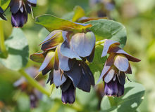 Honeywort Imagem de Stock Royalty Free