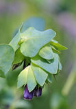Honeywort Photos libres de droits