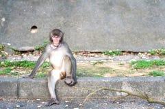 Hong Kong-Affe mit dem Gegenstand fest seine Kehle Stockfotos
