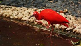Hong Kong aviary. Red ibis go to water at Hong Kong aviary stock photo