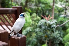 Bali Myna bird at the Edward Youde Aviary, Hong Kong Park. HONG KONG - JULY 17, 2013 - Bali Myna bird at the Edward Youde Aviary, Hong Kong Park royalty free stock photo