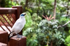 Bali Mynah bird at the Edward Youde Aviary, Hong Kong Park. HONG KONG - JULY 17, 2013 - Bali Mynah bird at the Edward Youde Aviary, Hong Kong Park royalty free stock photo