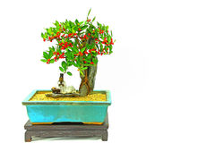Hong kong kumquat bonsai plant with fruits Royalty Free Stock Photos