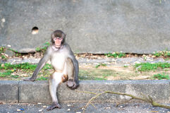 Hong Kong monkey with object stuck its throat Stock Photos