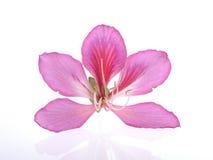 Hong Kong Orchid Imagens de Stock