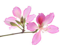 Hong Kong Orchid fotografia stock