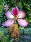 Hong Kong Orchid Immagini Stock