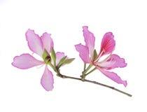 Hong Kong Orchid Stock Photo