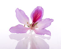 Hong Kong orchidea obrazy royalty free