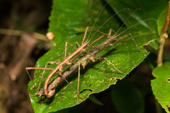 Hong Kong spiny stick insect mating on leaf Stock Photography