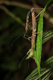 Hong Kong spiny stick insect mating on leaf Stock Photos