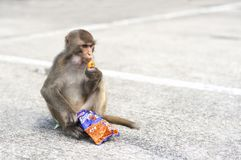 Hong Kong wild monkey eating junk food at Monkey Mountain, Kowloon. KAM SHAN COUNTRY PARK, HONG KONG - JULY 21, 2013 - Hong Kong wild monkey eating junk food at royalty free stock image