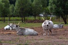 Hongaars Grey Cattle Royalty-vrije Stock Afbeeldingen