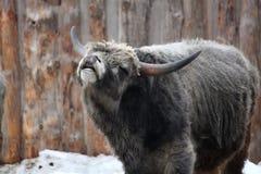Hongaars grijs vee in de winter Stock Fotografie
