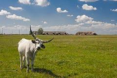 Hongaars Grijs vee Hongaar: ` Magyaarse die Szurke `, ook als Hongaars Steppevee wordt bekend, is een oud ras van royalty-vrije stock fotografie