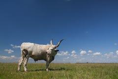 Hongaars Grijs vee Hongaar: ` Magyaarse die Szurke `, ook als Hongaars Steppevee wordt bekend, is een oud ras van royalty-vrije stock afbeeldingen