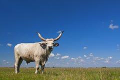Hongaars Grijs vee Hongaar: ` Magyaarse die Szurke `, ook als Hongaars Steppevee wordt bekend, is een oud ras van stock afbeelding