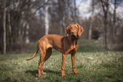 Hongaars hondenportret Royalty-vrije Stock Foto