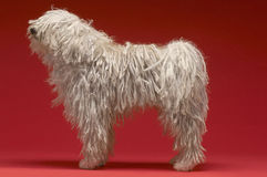 Hongaarse Herder Dog stock afbeeldingen