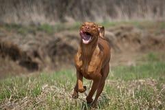 Hongaarse Hond Vizsla op Grasrijk Gebied Royalty-vrije Stock Foto's