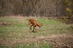 Hongaarse Hond Vizsla op Grasrijk Gebied Royalty-vrije Stock Afbeelding