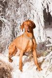 Hongaarse hondenhond royalty-vrije stock fotografie