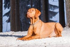 Hongaarse hondenhond stock afbeelding