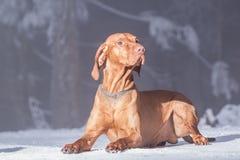 Hongaarse hondenhond stock foto