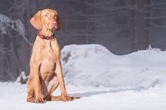 Hongaarse hondenhond royalty-vrije stock afbeeldingen