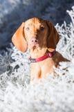 Hongaarse hondenhond royalty-vrije stock foto