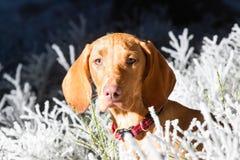 Hongaarse hondenhond royalty-vrije stock foto's