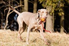 Hongaarse hondenhond Royalty-vrije Stock Afbeelding