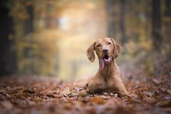 Hongaarse hondenhond in de herfsttijd stock fotografie