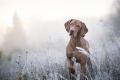 Hongaarse hondenhond in freezy de wintertijd Stock Foto's