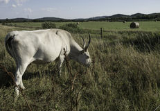 Hongaarse koe Stock Foto's