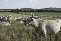 Hongaarse koeien Royalty-vrije Stock Fotografie
