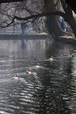 Hongcun ranek: pływacka kaczka obraz royalty free