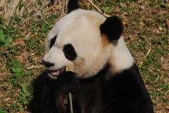 Hongerig Chinees Reuzepanda bear eating bamboo stock foto