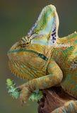 Hongerig Kameleon Stock Foto